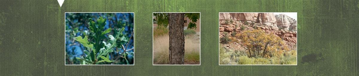 gambel-oak