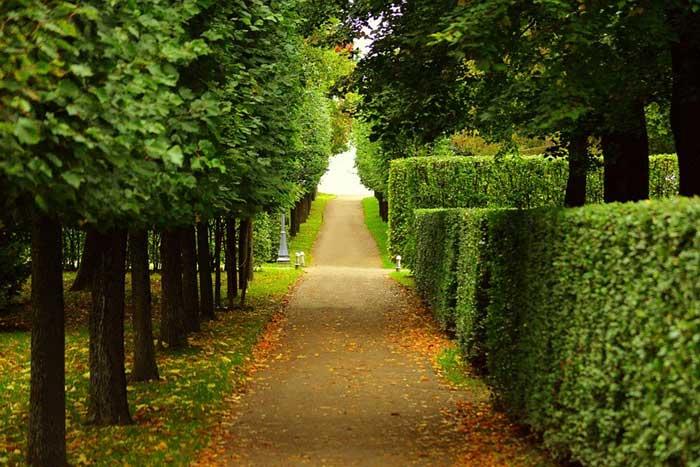 hedge-walkway